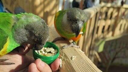 Senegal Parrot care