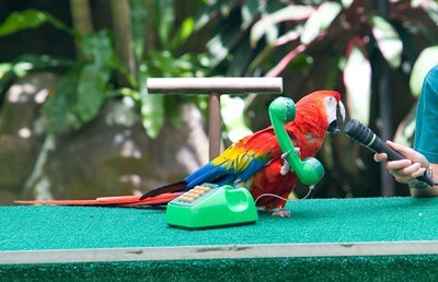 Why parrots imitate sounds