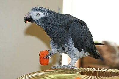 are carrots good for parrots?