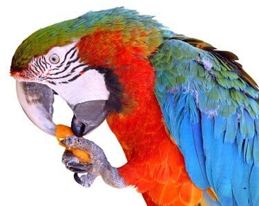 are carrots safe for parrots?