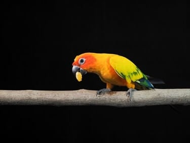 are oranges good for parrots?