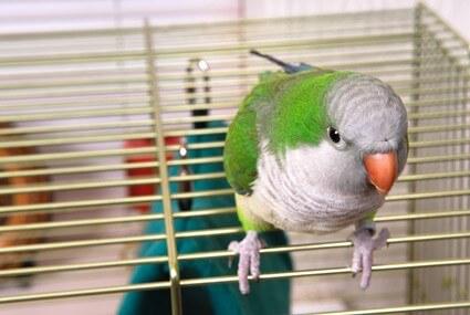 are parakeets noisy birds?