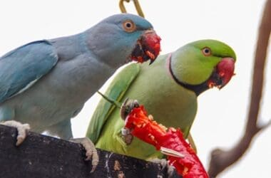 are parrots allowed red peppers?