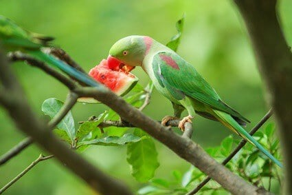 are parrots allowed to eat watermelon?