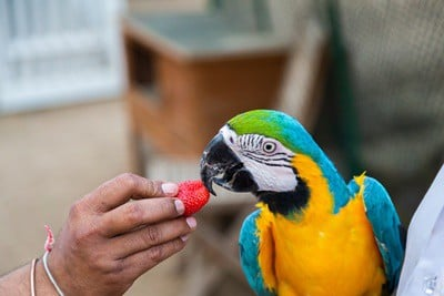 are strawberries safe for parrots?