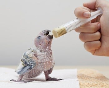 baby parrot feeding schedule
