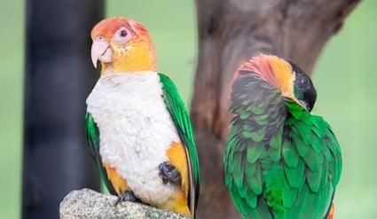 caique parrot care guide