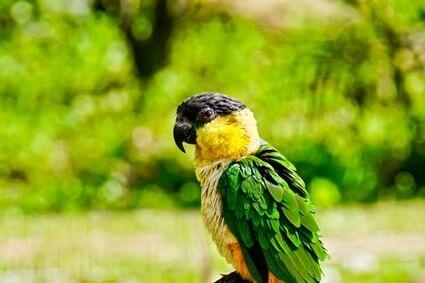 caique parrot personality