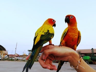 can caged birds survive in the wild?
