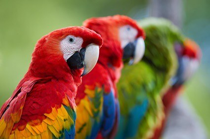 can macaws live alone?
