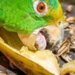 can parrots eat bananas?