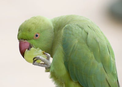 can parrots eat grapes?