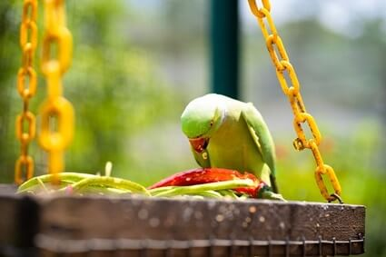 can parrots eat green peppers?