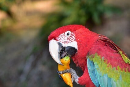 can parrots eat orange peppers?
