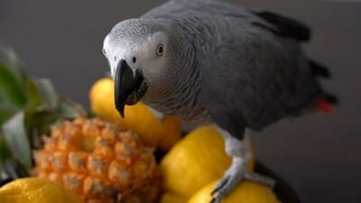 can parrots eat pineapple?