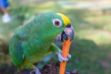 can parrots eat raw carrots?
