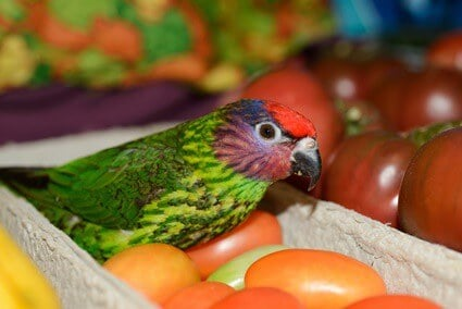 can parrots eat raw tomatoes?