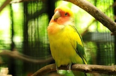 can parrots eat too much?