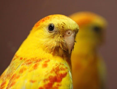 can parrots recognize themselves in a mirror?