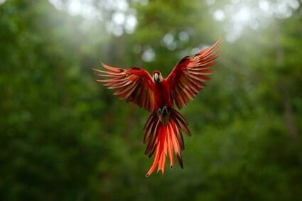 can parrots still fly with clipped wings?