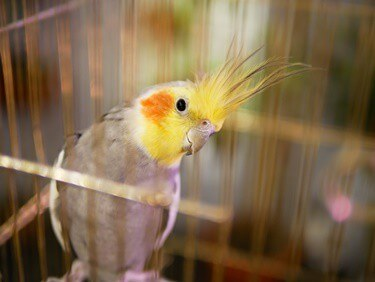 care for cockatiels as pets