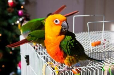 caring for a conure parrot