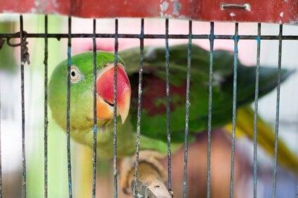 coprophagia in parrots