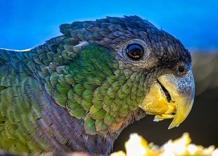 dermatophytosis in parrots
