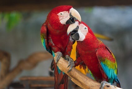 do macaw parrots make good pets?