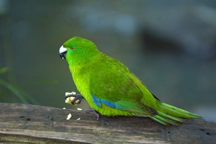 do parakeets turn into parrots?