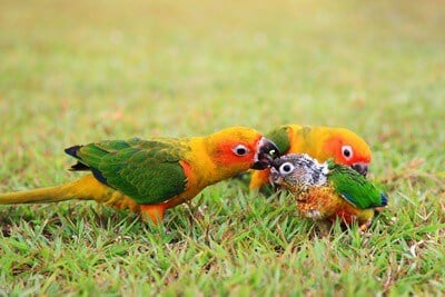 do parrots care for their babies?