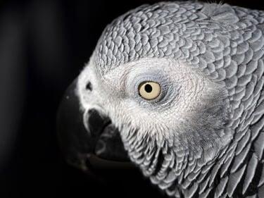 do parrots drool?