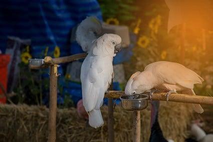 do parrots have salivary glands?