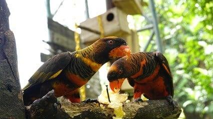 do parrots like fruit?