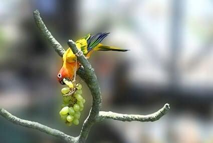 do parrots like grapes?