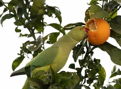 do parrots like oranges?