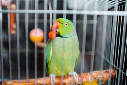 do parrots like strawberries?