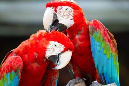do parrots reproduce sexually or asexually?