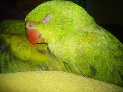 do parrots sleep with their eyes open?