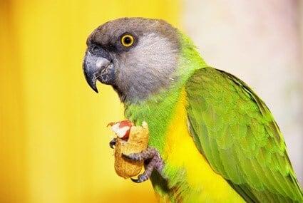do senegal parrots make good pets?