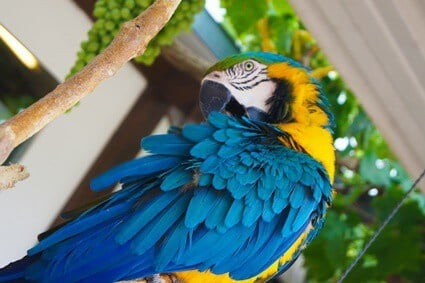 drooling parrot