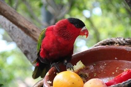 fresh fruits for parrots