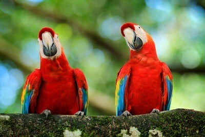 how do parrots mate?