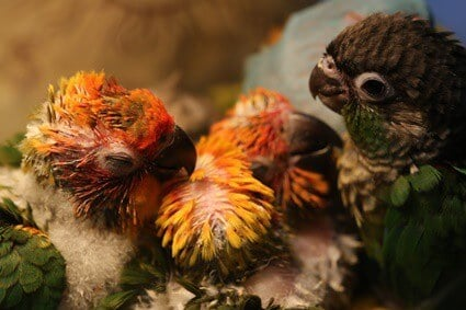 how long do baby parrots stay with their mother?
