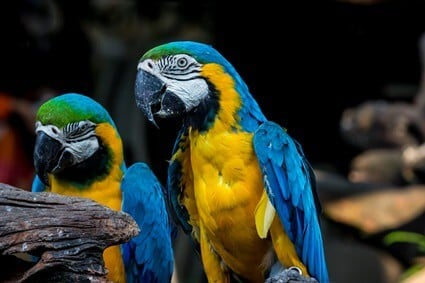 how many parrots should I have?