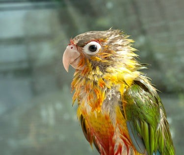 how to tell if a parrot is underweight