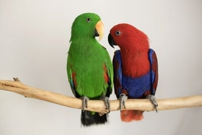 how to tell the gender of parrots