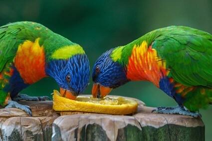is citrus fruit good for parrots?