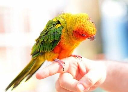 is parrot dust dangerous?