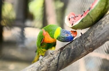 is watermelon good for parrots?